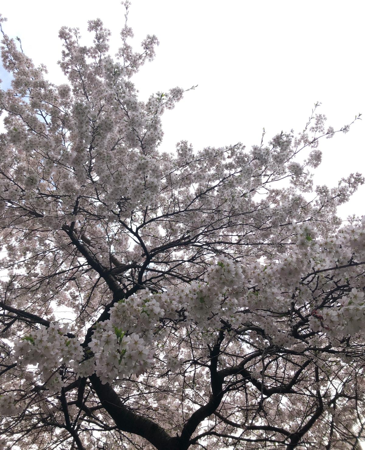 cherry tree in blossom